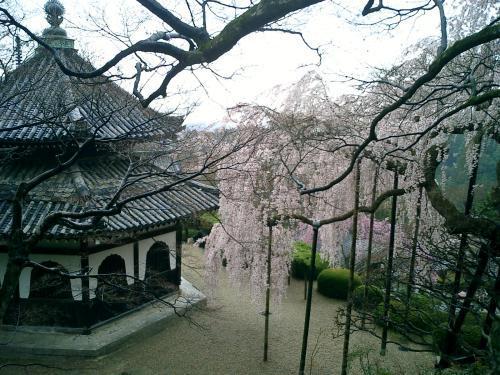 善峰寺のしだれ桜